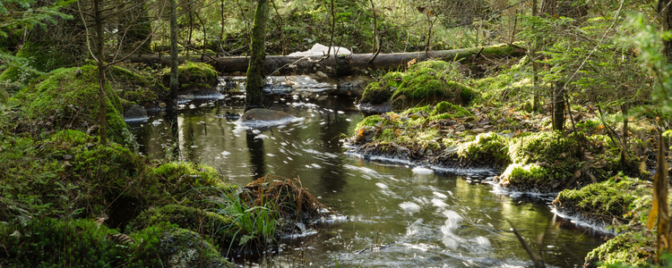 A streaming creek in an untouched, old-growth and mossy coniferous forest