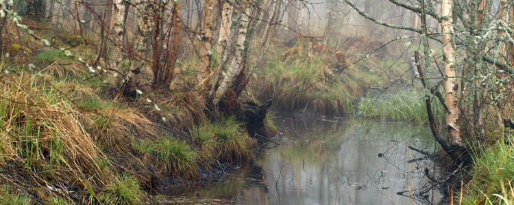 nature awakening after winter on foggy day with tiny leaves on birches growing on the banks of a ditch full of water