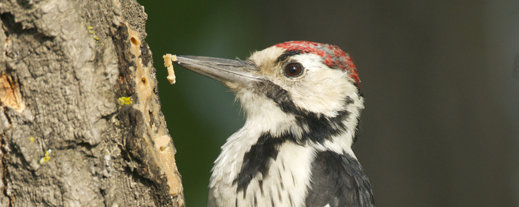 White-backed Woodpecker, Dendrocopos leucotos, digging in side of tree with food in beak
