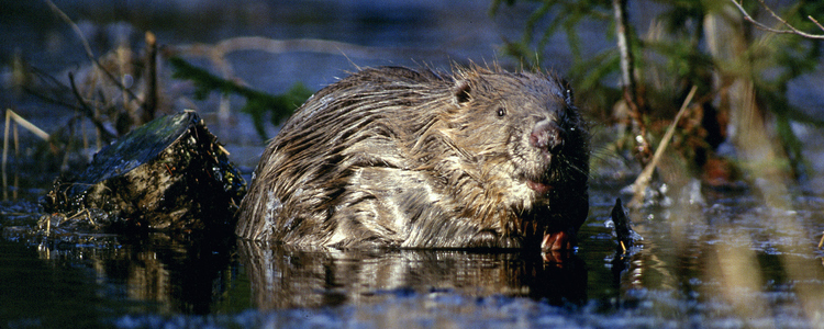 Beaver sitting in water.