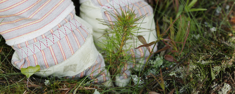 close-up of hands planting a pine seedling outdoors